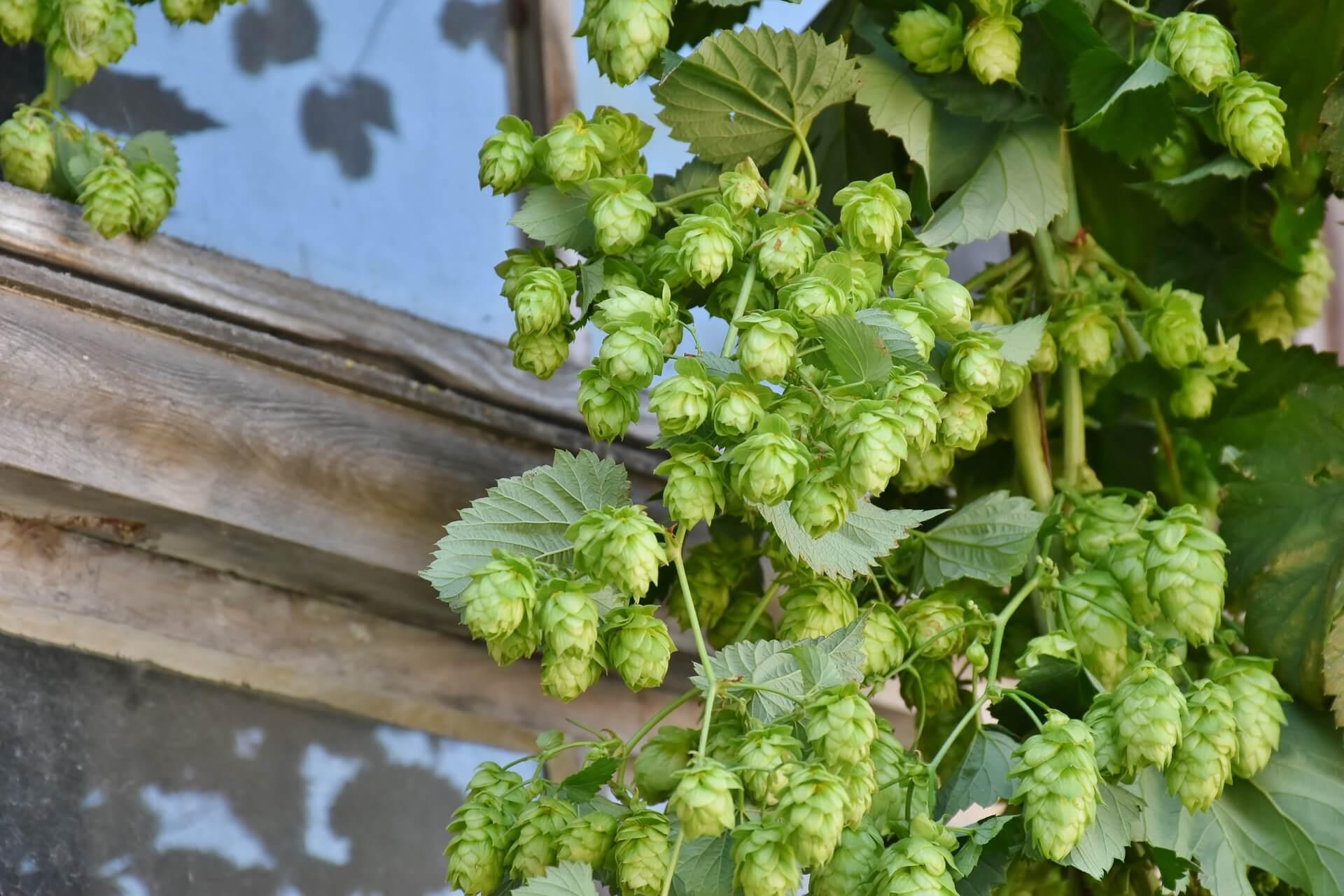hop-harvest-1596086_1920